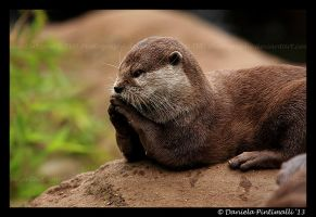 Sherlock Otter by TVD-Photography