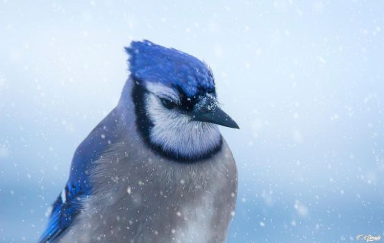 Blue Jay in the Snow by Nini1965