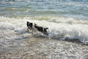 Border Collie Enjoying The Sea by twilliamsphotography