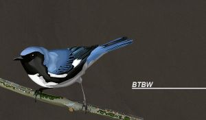 Black-throated Blue Warbler by glassbitch