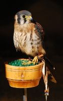 Americal Kestrel. by quaddie