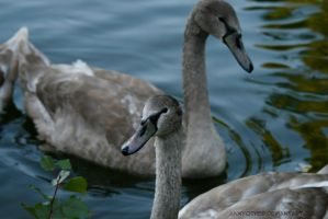 Cygnets by AnnyOther