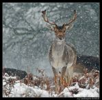 Snowy Fallow Deer Portrait by andy-j-s