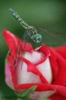 Dragonfly on Candy Cane Rose by poetcrystaldawn