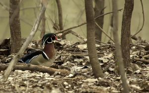 The Wood Duck by kl61