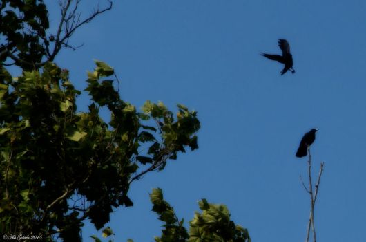 Noisey Crows... by SnakeGeisha