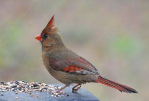 Female Cardinal 4-1-11 by Tailgun2009