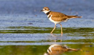 Killdeer 2 by Grouper