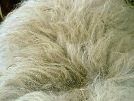 sheep fur by Mihraystock