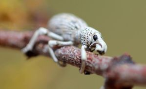 White Weevil by Monkeystyle3000