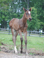 TB Foal Stock 1 by Synyster-Stock