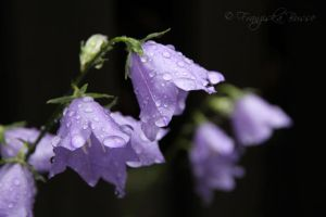 Lilac bells by Gambassi