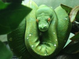Green Tree Python by absolutangel04