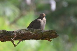 Lonely Dove 10-26-12 by Tailgun2009