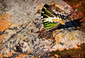 Fivebar Swordtail by SmartyPhoto