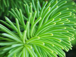 Conifer Close-up by RedRoseBudBlooming
