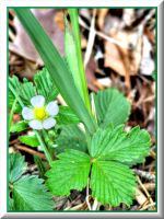 Wild strawberry blossoms... by Yancis