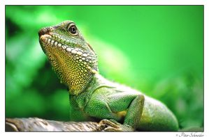 Lizard by Phototubby