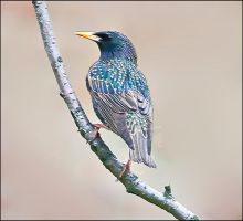 European Starling-2 by my-cousine-vinny