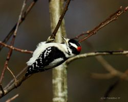 Hairy Woodpecker feeding by natureguy