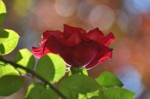 Backlit Rose 11-13-10 by Tailgun2009