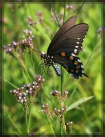 Swallowtail 20D0033113 by Cristian-M