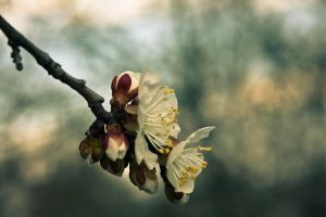 Apricot flower 2, Ukraine by daily-telegraph