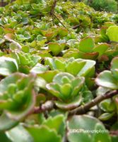 succulent plant by animelover145
