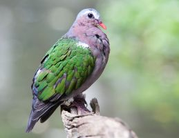 Emerald Dove by secondclaw