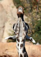 Giraffa camelopardalis by DSPHolthaus