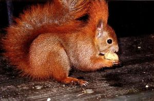 Stock 082: red squirrel + nut by AlzirrSwanheartStock