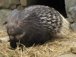Indian Crested Porcupine 02 by animalphotos