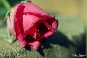 pink rose by eerie-silence