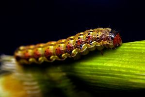 The Caterpillar by rdswords