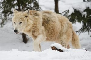 Artic Wolf #03 by vetchyKocour