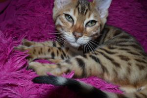 Bengal Kitten curled up by Spiremagus-Esquire