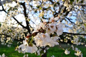 cherrytree's flowers by RDK94