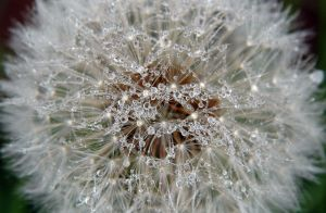 Diamonds in the Dandilion by sublimechaos