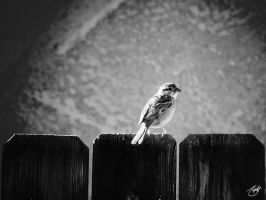 Sparrow BW by knitetgantt