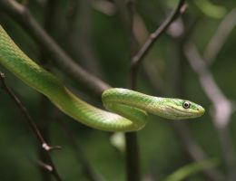 Rough Green Snake 20D0027635 by Cristian-M