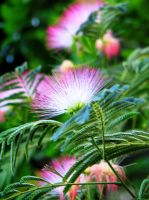 Mimosa Tree Flower by Autumn-Gracy