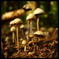 Field of Mushrooms by explicitly