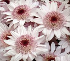 WHITE MUMS by THOM-B-FOTO