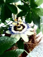 passion fruit flower 0.1 by wispered