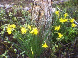 Closeup Of Lovely Daffodils by KnK-stock