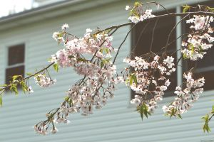 Branching Blossoms by WickedOwl514