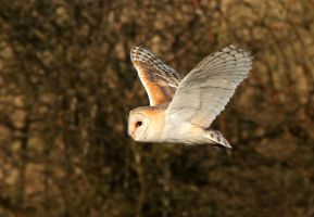 As gentle as a breeze - Barn owl by Jamie-MacArthur