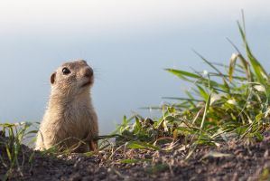 European ground squirrel I. by xBajnox