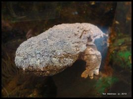Hellbender by littletim