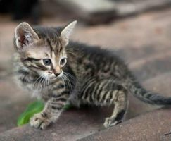 Tiny barn kitten by ChesneyCat